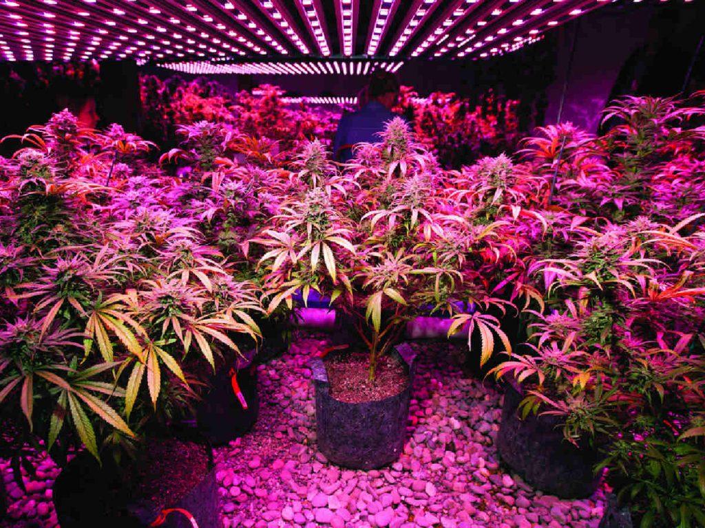 organic cannabinoids